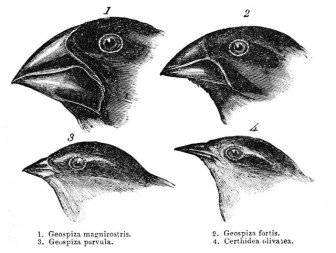 Charles Darwin's sketches of finches