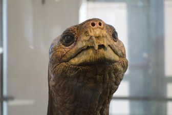 Closeup of Lonesome George with the greenish stains near his mouth