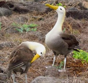 A Pair Of Waved Albatross On Española Island
