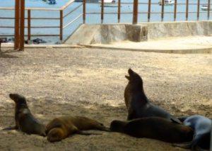 Lobos Marinos En El Malecón De Baquerizo Moreno.