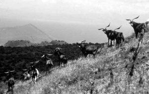 Goats On Isabela Island Before Eradication Galapagos National Park