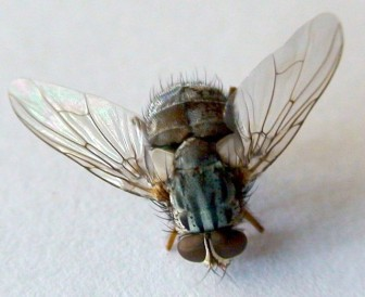 Adult Philornis downsi fly