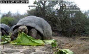 Feeding Time In A Screenshot From The Galápagos Tortoise Cam.
