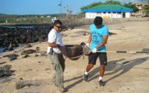 Técnicos Del Parque Nacional Galápagos Transportan Un Lobo Marino Para Ser Estudiado Y Marcado.