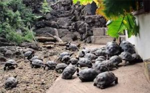 Some Of The 205 Tortoises Ready To Travel To Santa Fe Island