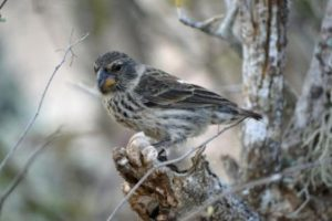 Female Ground Finch In The Galápagos Islands