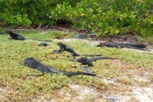 (archive) Iguanas At Tortuga Bay, Santa Cruz, 2013