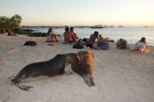 Lobos Marinos Y Miembros De La Especie Introducida Homo Sapiens En Playa Mann.
