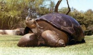 Speed, The Galápagos Tortoise (file Photo)